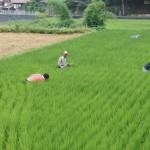 米づくり泥んこ体験2-11